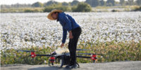 3,000機のドローンが中国の棉に農薬を散布!農村部ではスマート農業が人気