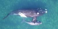 クジラのサイズを計測するためにDJIドローン『Inspire 1』が利用される