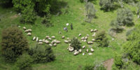 羊飼いは牧羊犬の代わり、羊にドローンを追いかけることを教えている!?