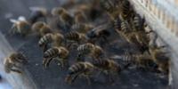 ミツバチとドローンで地雷探索 – ボスニア・ヘルツェゴビナ、クロアチア