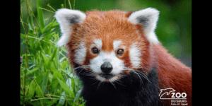 ドイツの動物園にて、行方不明のレッサーパンダをDJIドローンが発見